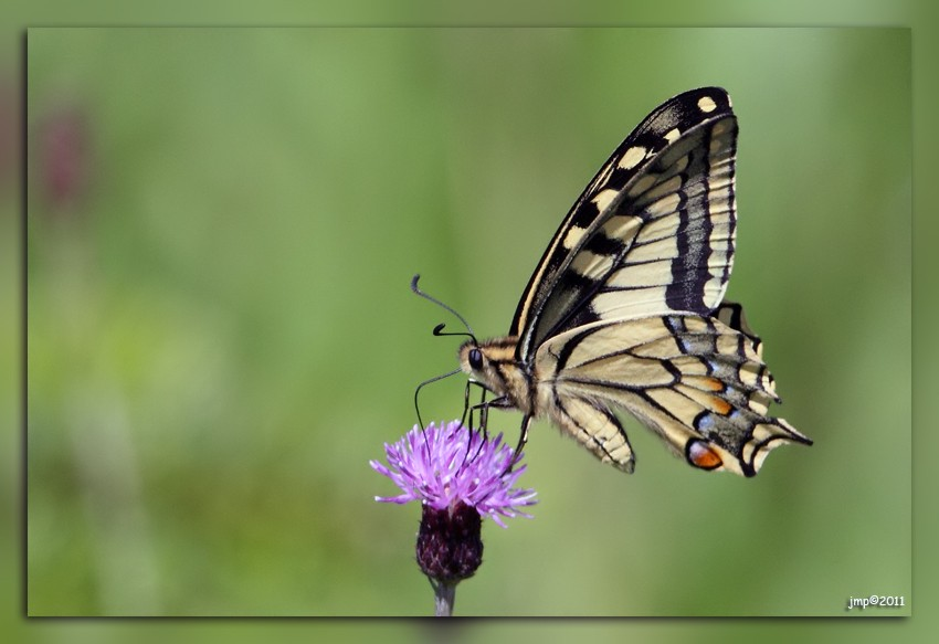 IMG_2839Machaon1.jpg