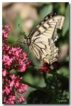 IMG_6065machaon1