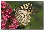 IMG_6123machaon