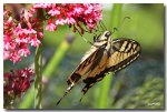 IMG_6200machaon1