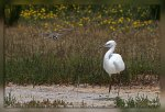 JMP_0494Aigrette_Gravelot1