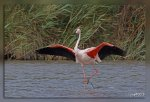 IMG_0857Flamant_rose1