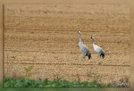 JMP_3140Grues_cendrees1