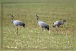 JMP_4086Grues_cendrees1