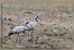 JMP_8155Grues_cendrees1