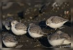 JMP_3080Becasseaux_sanderlings1