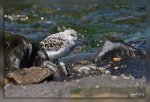 IMG_7532Becasseau_sanderling1