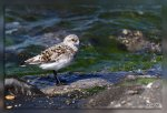 IMG_7535Becasseau_sanderling1