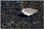 JMP_4117BecasseauSanderling1