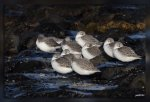 IMG_5342Becasseaux_sanderlings1