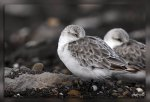 IMG_5362Becasseau_sanderling1