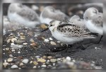 JMP_3638Becasseau_sanderling1