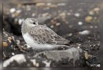 JMP_3645Becasseau_sanderling1