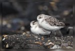 JMP_3704Becasseau_sanderling1