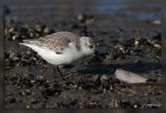 JMP_5850Becasseau_sanderling1